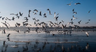 frozen-alster-with-seagulls_web