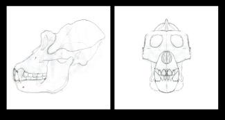 Gorilla anatomy study