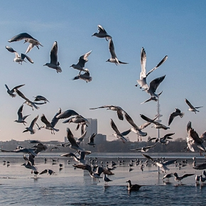 Seagulls on frozen Alster